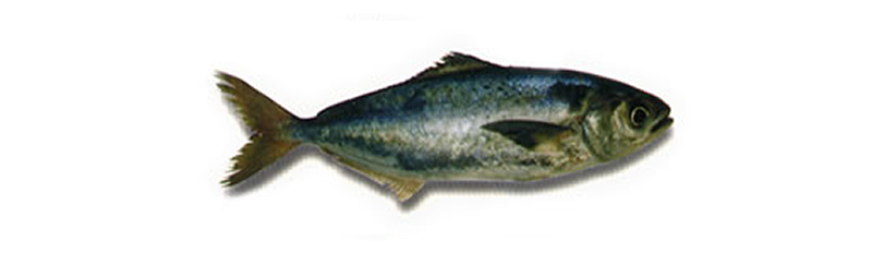 SOUTH ATLANTIC BREAM (Seriolella porosa)