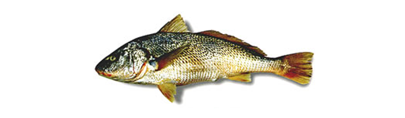 WHITEMOUTH CROAKER (Micropogonias furnieri)