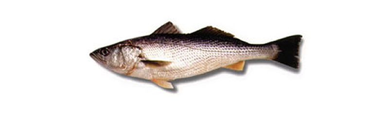 STRIPPED WEAK FISH, SEA TROUT (Cynoscion striatus)