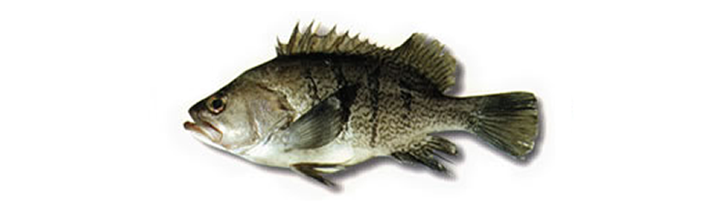 ARGENTINE SEA BASS, BARFISH, GROUPER (Acanthistius brasilianus)